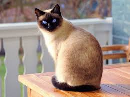 What is the deal with siamese cats