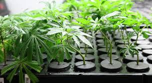 Aeroponic Cannabis