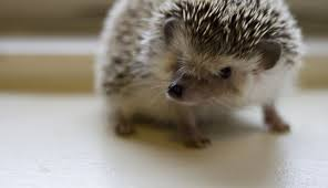 Hedgehogs and the need for speed