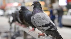 hidden life of pigeons